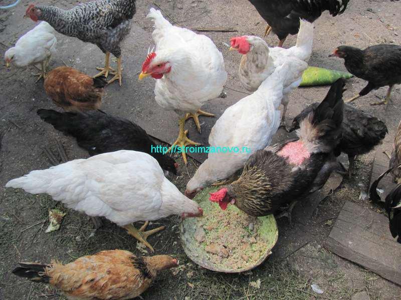 Чем кормить цыплят до месяца в домашних условиях