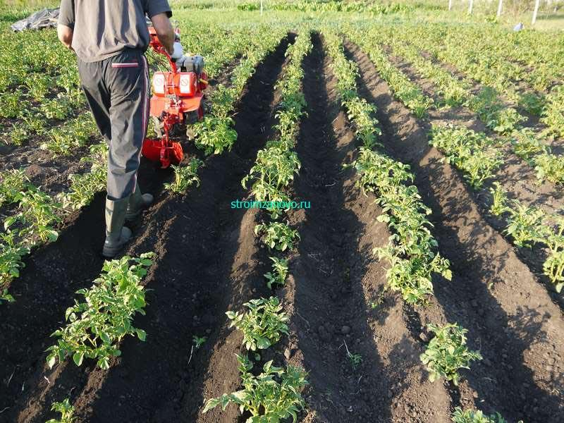 Выращивание картофеля с умом без прополки и окучивания 75