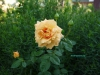 roza_geltaya