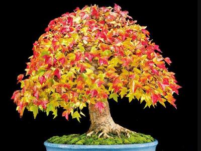 bonsai_5