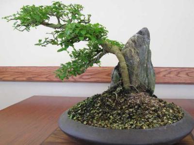 bonsai_7