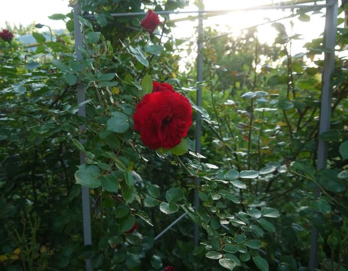 опора для розы